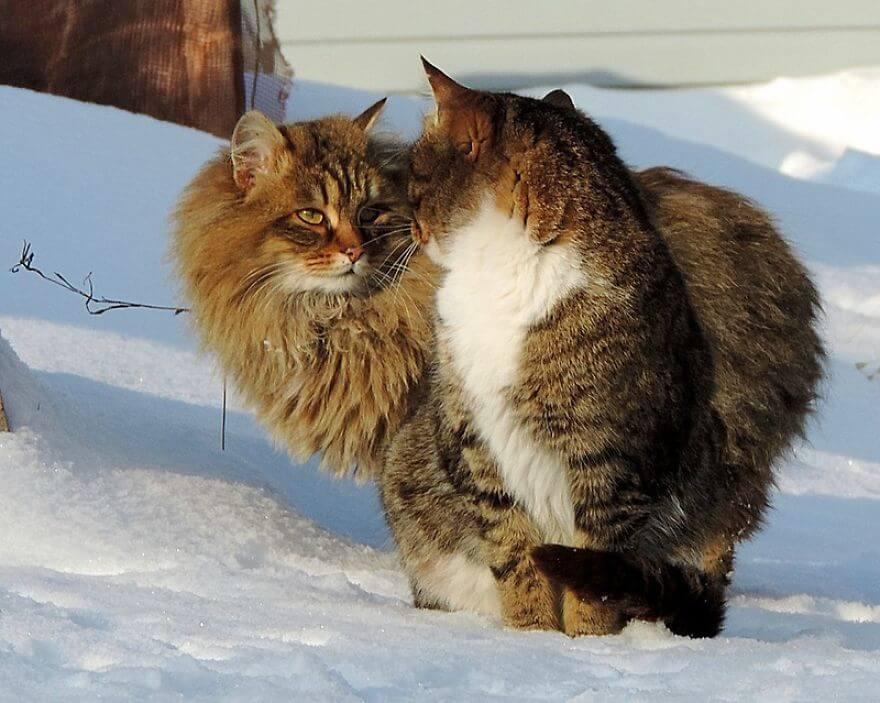 Siberian Farm Cats alla lebedeva 15 (1)