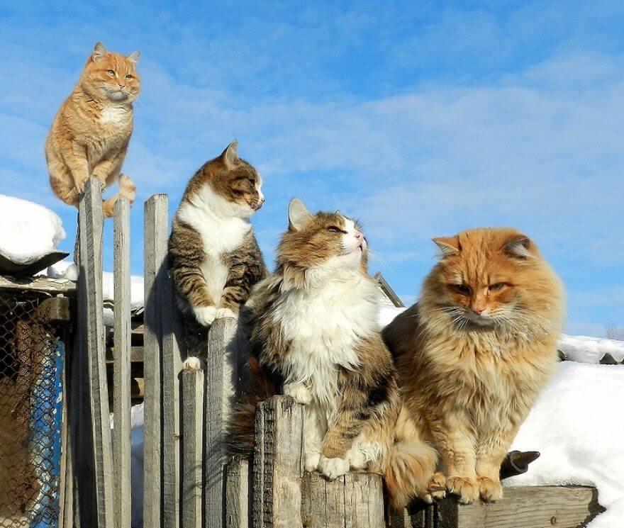 Siberian Farm Cats alla lebedeva 16 (1)