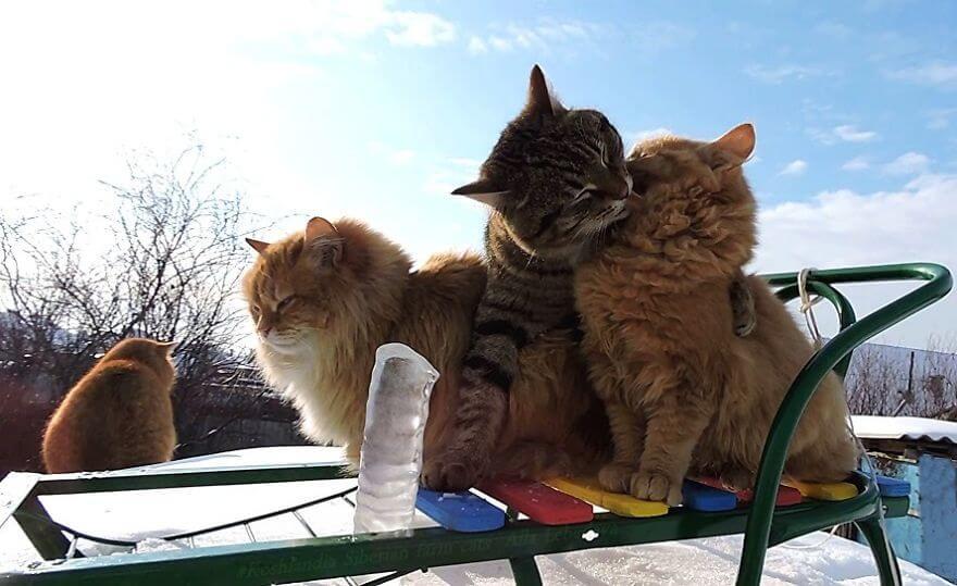 Siberian Farm Cats alla lebedeva 17 (1)