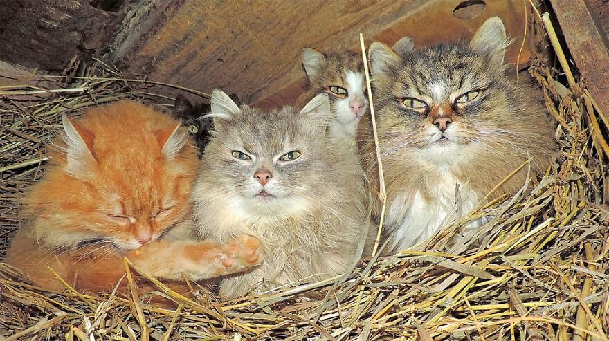Siberian Farm Cats alla lebedeva 18 (1)