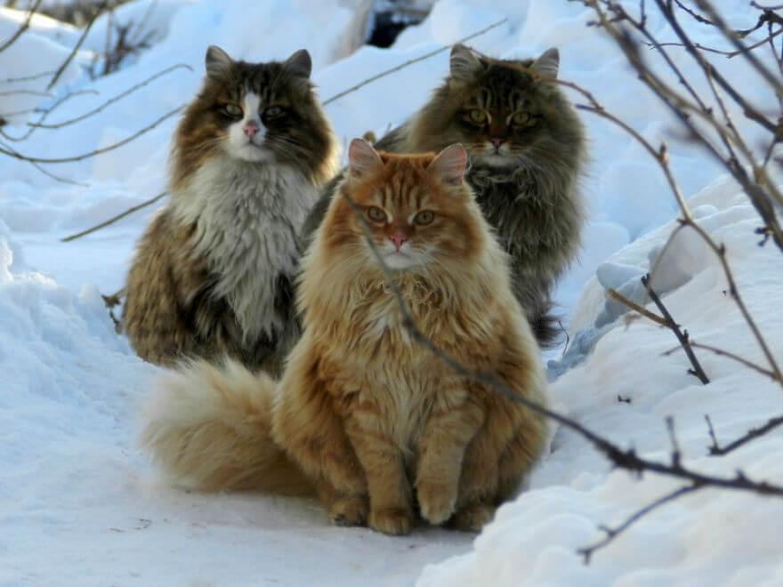 Siberian Farm Cats alla lebedeva 19 (1)