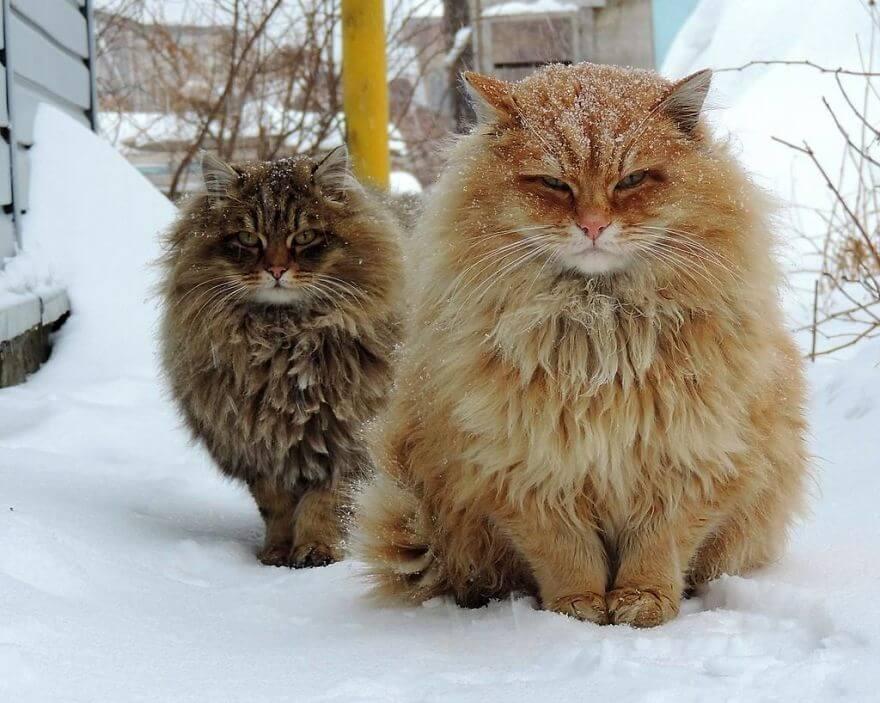Siberian Cats alla lebedeva 2 (1)