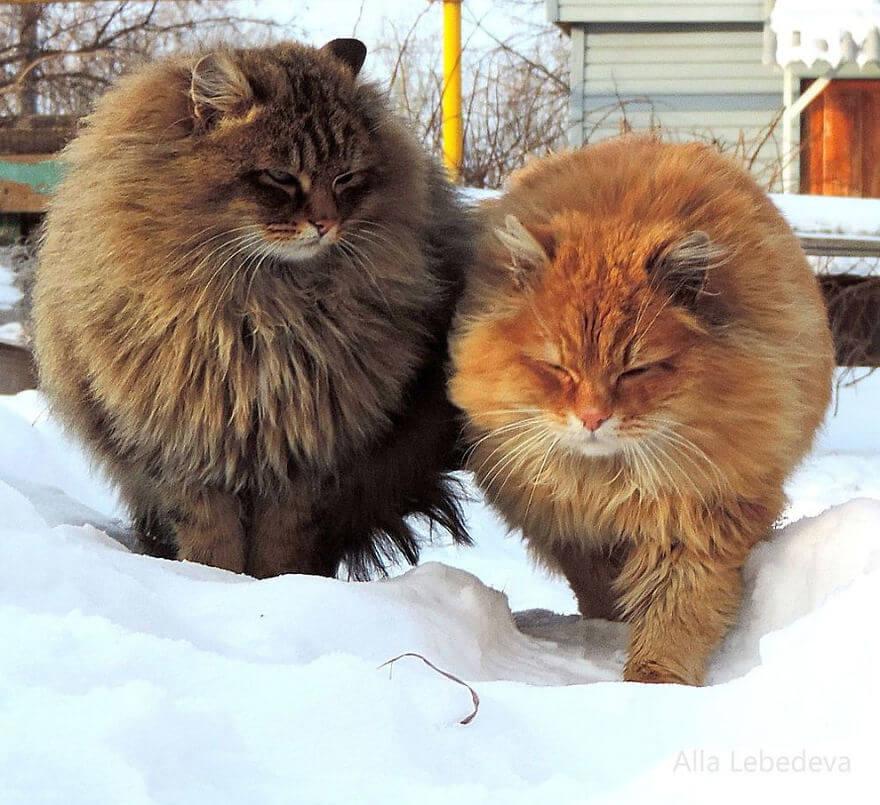 Siberian Farm Cats alla lebedeva 20 (1)