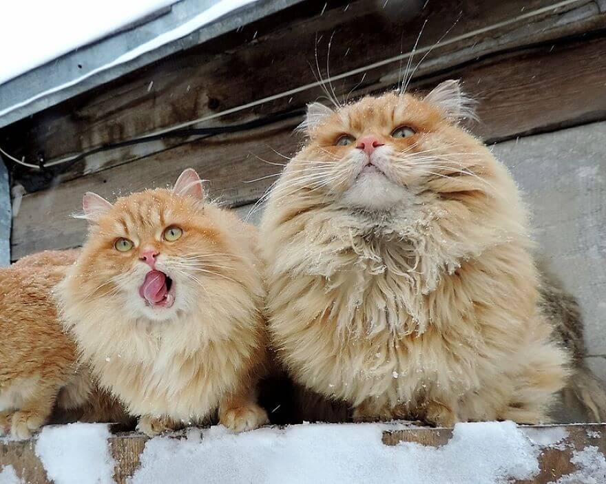 Siberian Farm Cats alla lebedeva 22 (1)