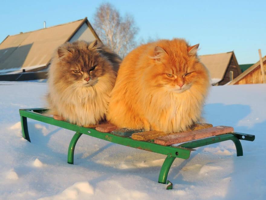 Siberian Farm Cats alla lebedeva 23 (1)