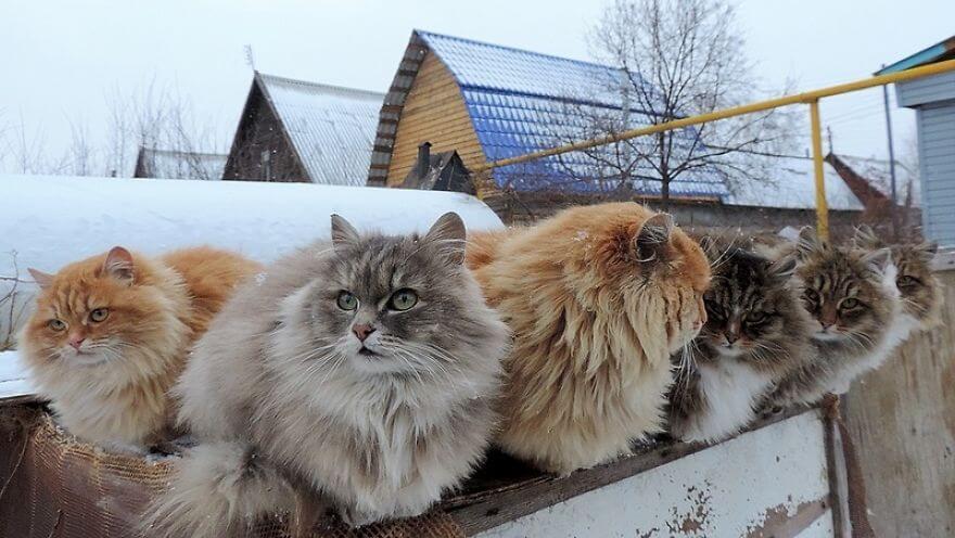 Siberian Farm Cats alla lebedeva 24 (1)