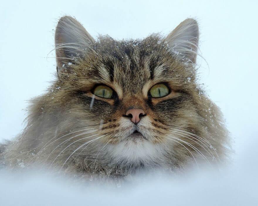 Siberian Farm Cats alla lebedeva 25 (1)