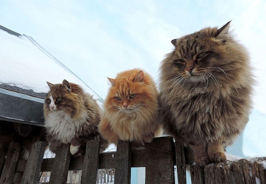 Siberian Farm Cats alla lebedeva 26 (1)