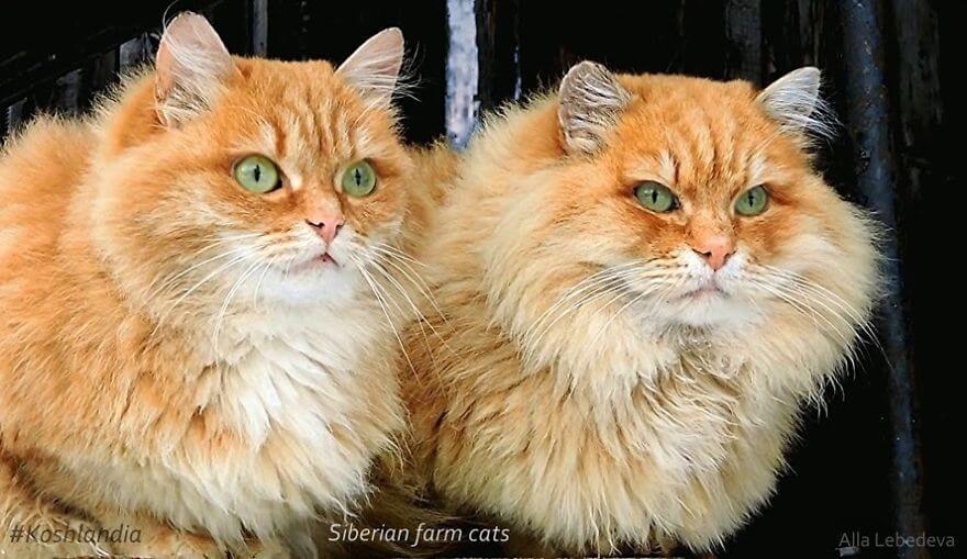 Siberian Farm Cats alla lebedeva 27 (1)