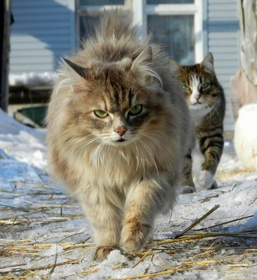 Siberian Farm Cats alla lebedeva 29 (1)
