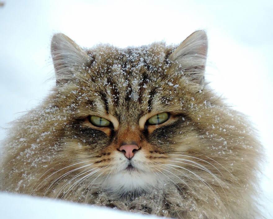 Siberian Cats alla lebedeva 3 (1)