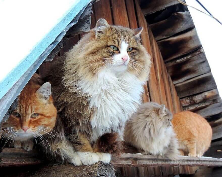 Siberian Farm Cats alla lebedeva 30 (1)