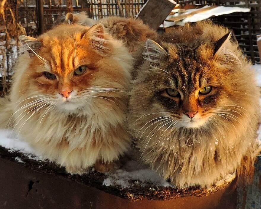 Siberian Farm Cats alla lebedeva 31 (1)