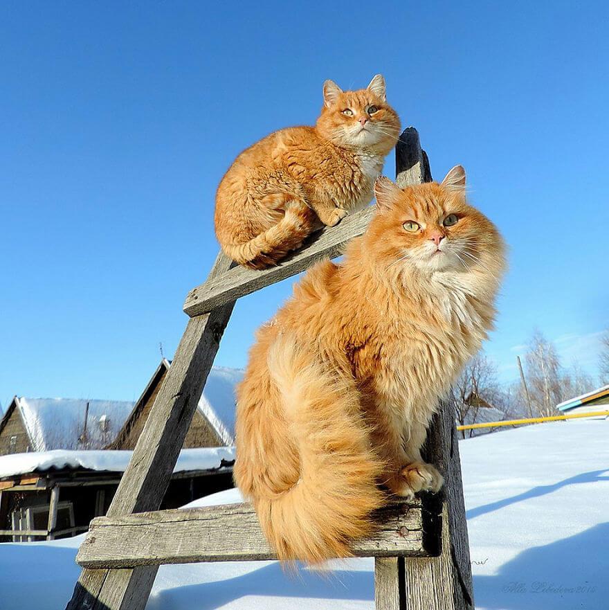 Siberian Farm Cats alla lebedeva 32 (1)