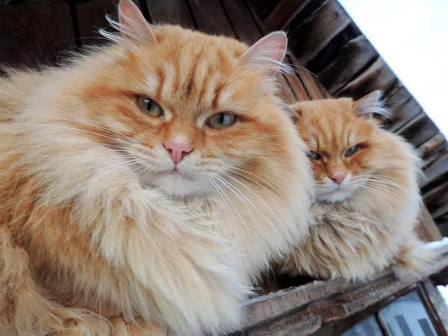 Siberian Farm Cats alla lebedeva 33 (1)