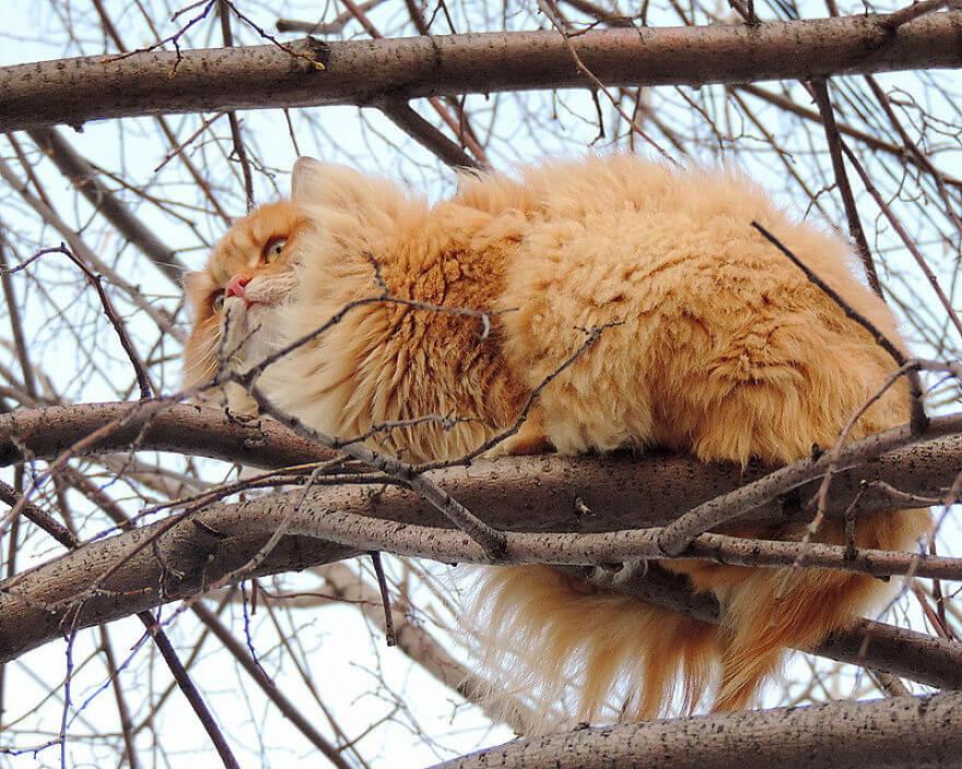 Siberian Farm Cats alla lebedeva 34 (1)
