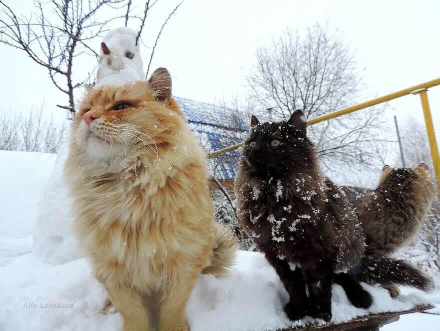 Siberian Farm Cats alla lebedeva 35 (1)