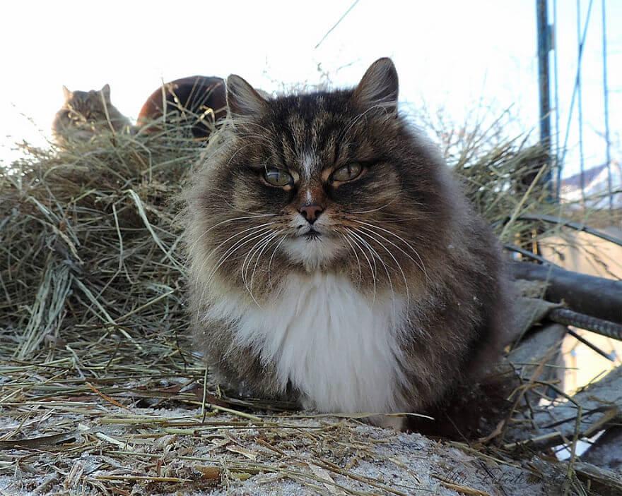 Siberian Farm Cats alla lebedeva 36 (1)