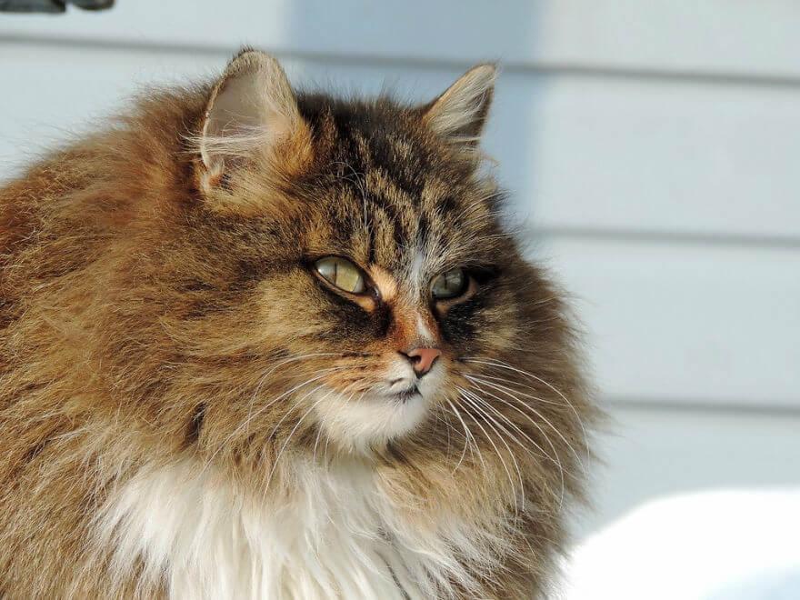 Siberian Farm Cats alla lebedeva 37 (1)