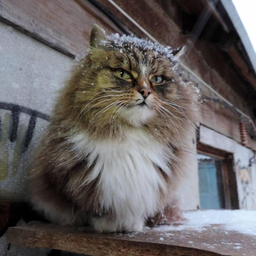 Siberian Farm Cats alla lebedeva 38 (1)