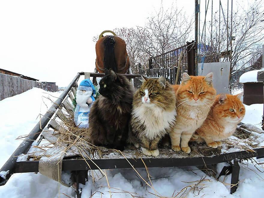 Siberian Farm Cats alla lebedeva 39 (1)