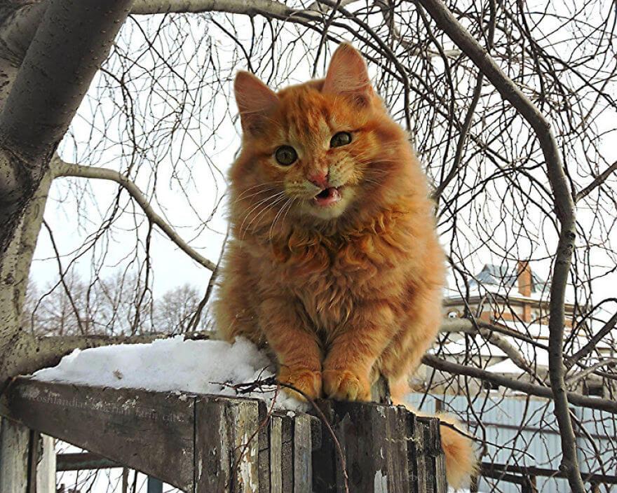 Siberian Farm Cats alla lebedeva 4 (1)