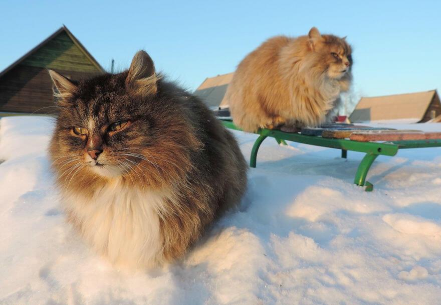 Siberian Farm Cats alla lebedeva 40 (1)