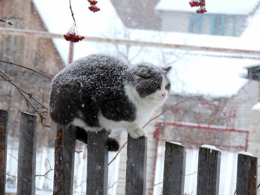 Siberian Farm Cats alla lebedeva 41 (1)
