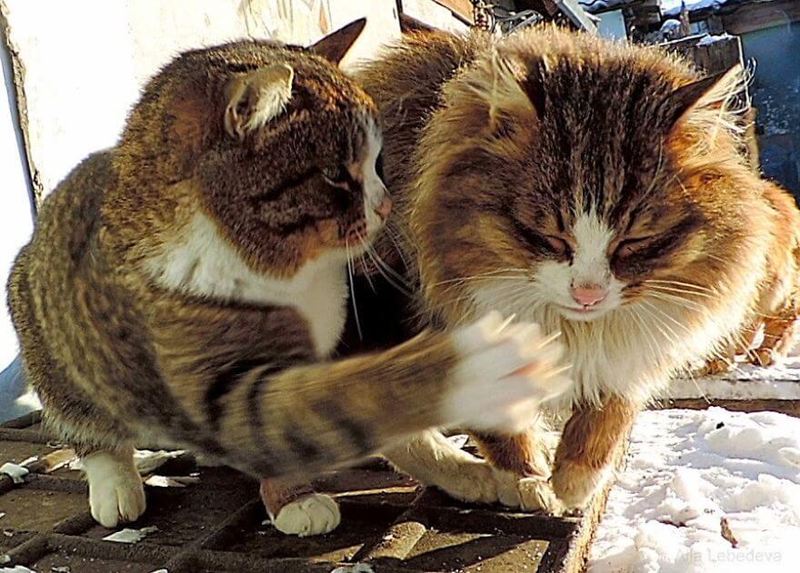 Siberian Farm Cats alla lebedeva 42 (1)