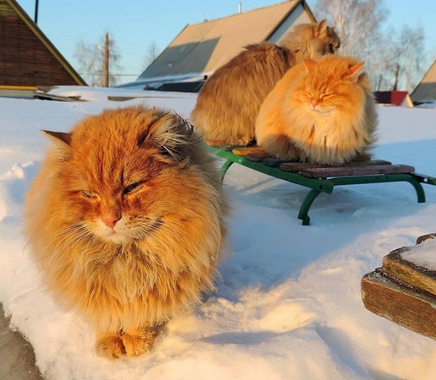 Siberian Farm Cats alla lebedeva 43 (1)