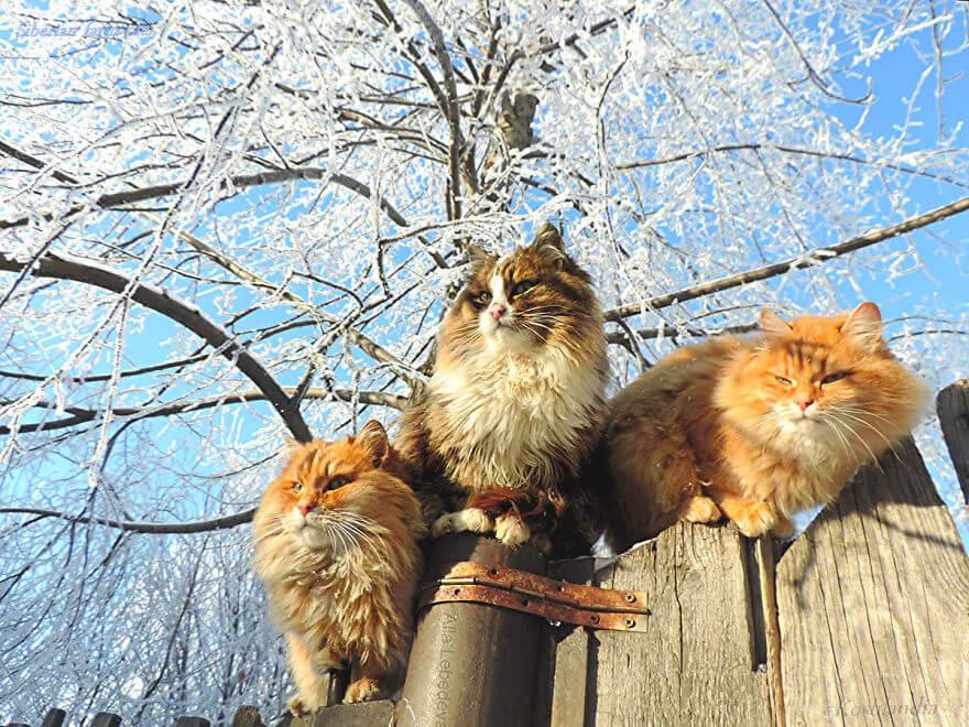 Siberian Farm Cats alla lebedeva 44 (1)
