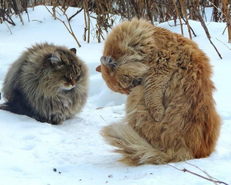 Siberian Farm Cats alla lebedeva 45 (1)