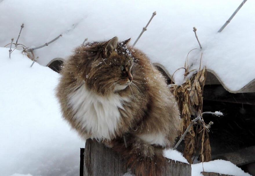 Siberian Farm Cats alla lebedeva 46 (1)