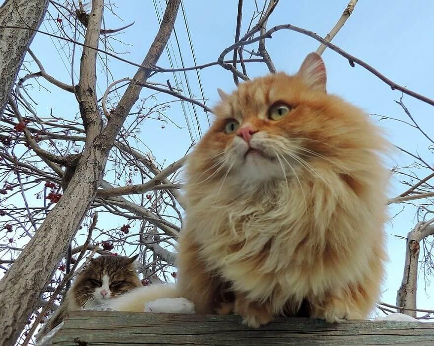 Siberian Farm Cats alla lebedeva 47 (1)