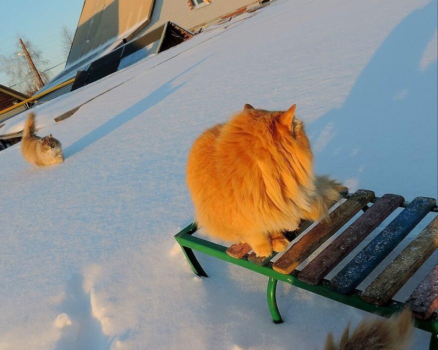 Siberian Farm Cats alla lebedeva 48 (1)