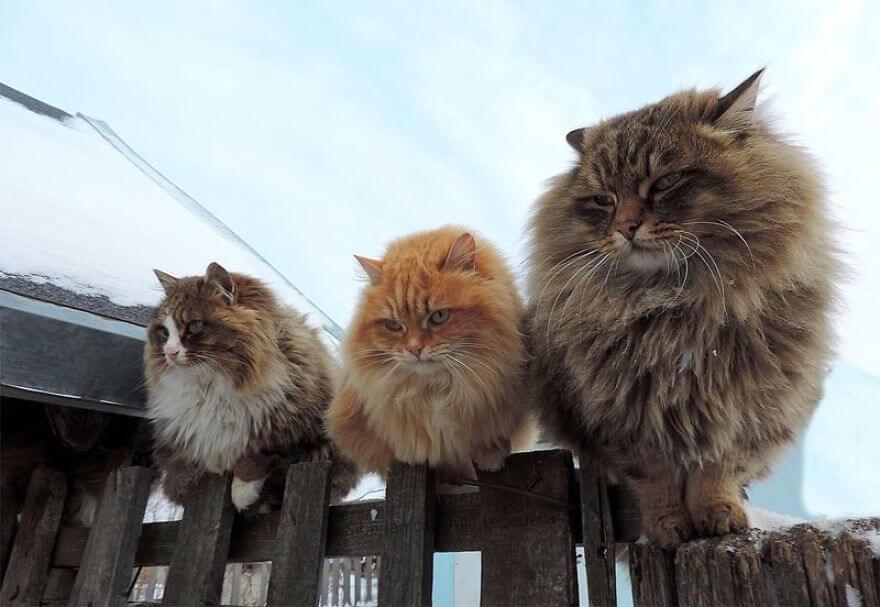 Siberian Farm Cats alla lebedeva 49 (1)