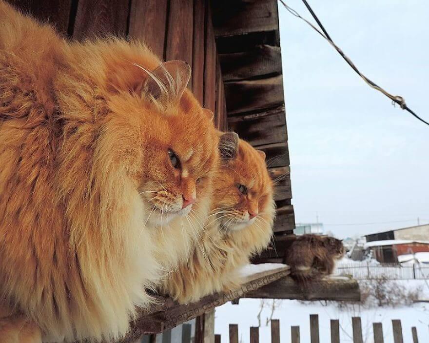 Siberian Farm Cats alla lebedeva 5 (1)