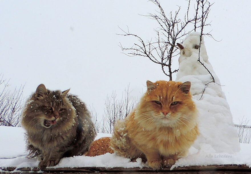 Siberian Farm Cats alla lebedeva 50 (1)