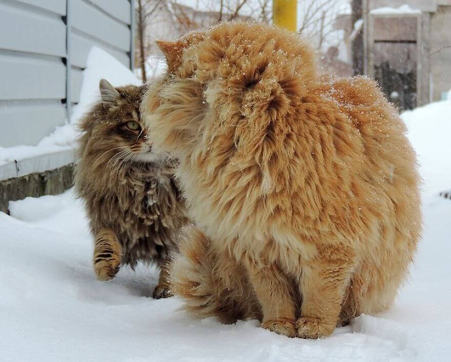 Siberian Farm Cats alla lebedeva 51 (1)