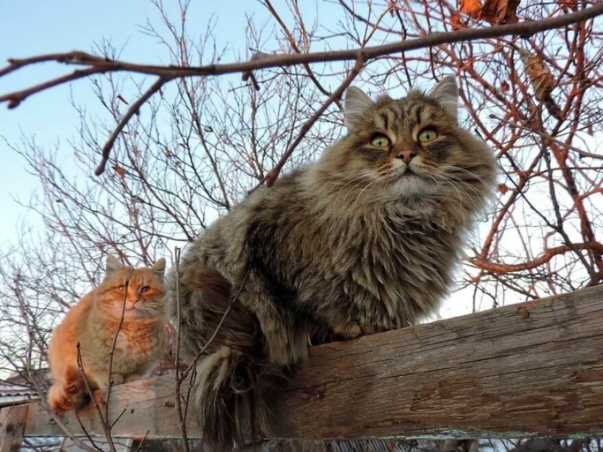 Siberian Farm Cats alla lebedeva 52 (1)