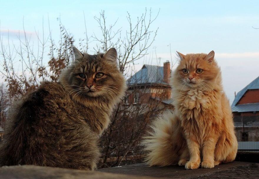Siberian Farm Cats alla lebedeva 53 (1)