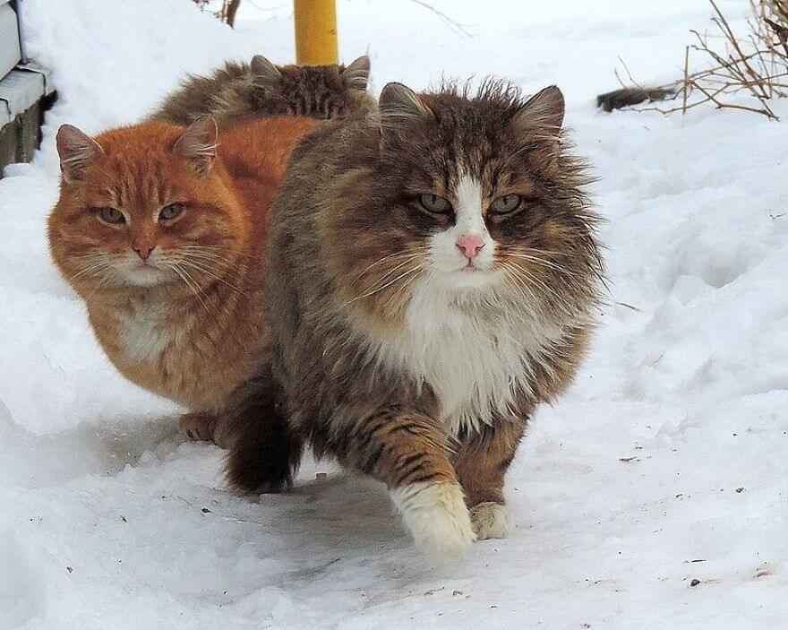 Siberian Farm Cats alla lebedeva 54 (1)