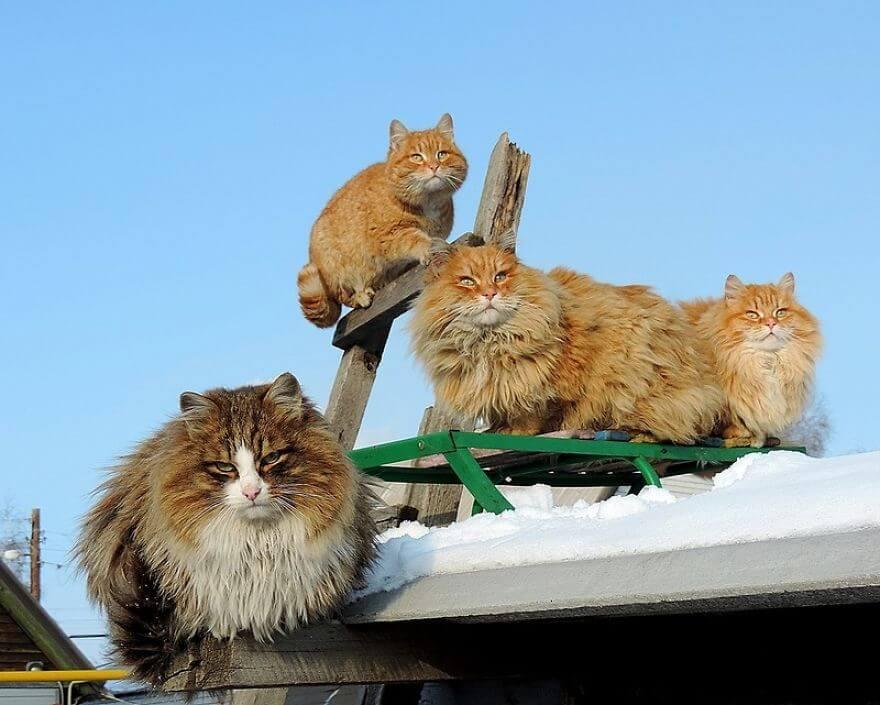 Siberian Farm Cats alla lebedeva 55 (1)