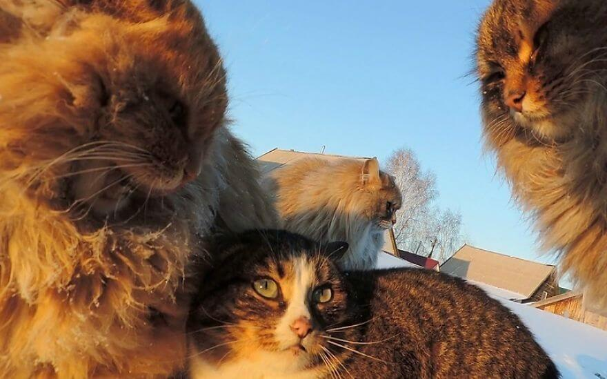 Siberian Farm Cats alla lebedeva 56 (1)