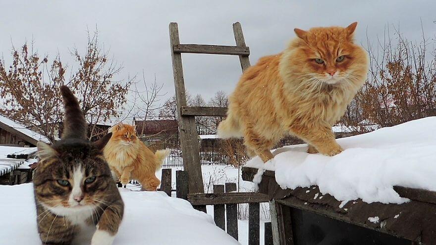 Siberian Cats alla lebedeva 57 (1)