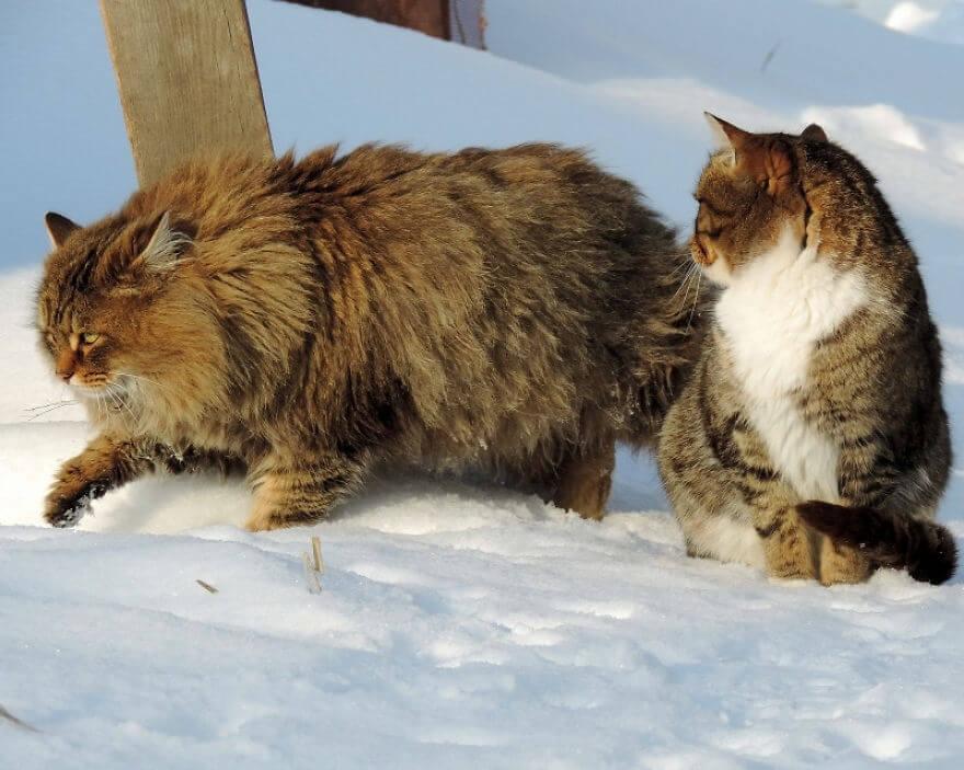 Siberian Cats alla lebedeva 58 (1)
