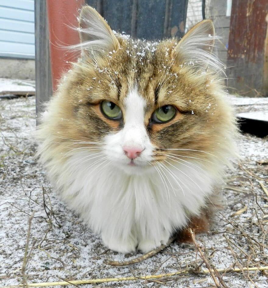 Siberian Farm Cats alla lebedeva 6 (1)