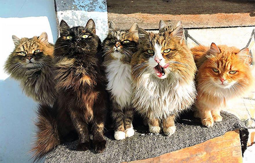 Siberian Farm Cats alla lebedeva 7 (1)