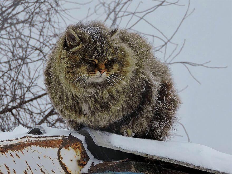 Siberian Farm Cats alla lebedeva 8 (1)