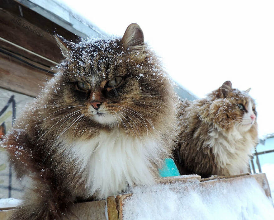 Siberian Farm Cats alla lebedeva 9 (1)
